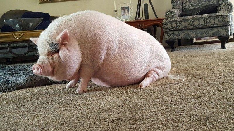 Ориентировочная таблица веса свиней 11