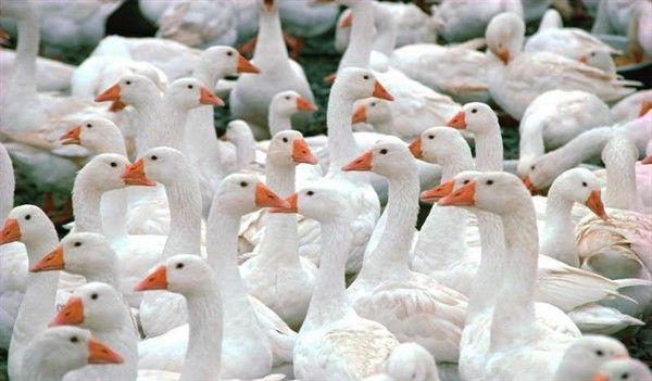 Сколько живут гуси в домашних условиях 1