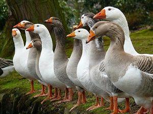 Сколько живут гуси в домашних условиях 3