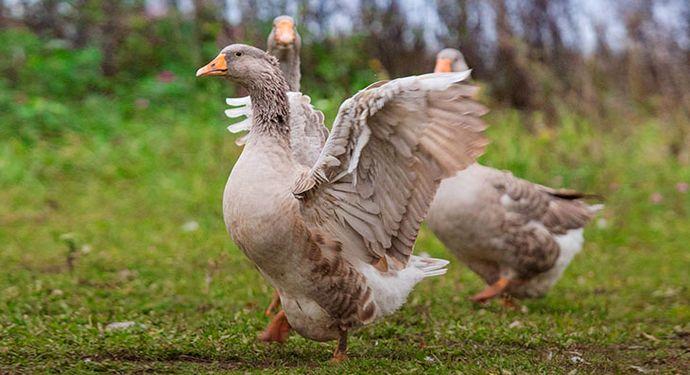 Сколько живут гуси в домашних условиях 9