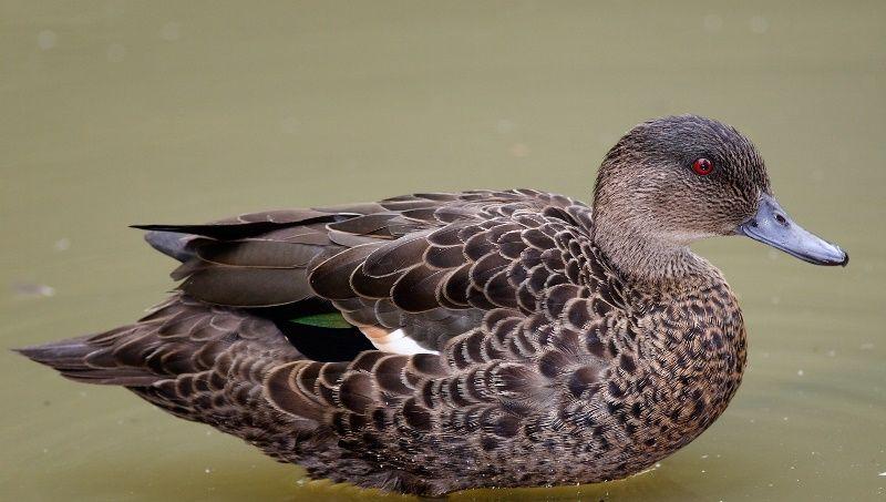Сколько живут утки в домашних условиях, в природе 2