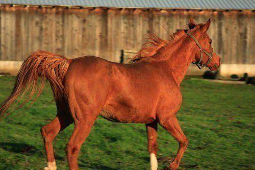 Скорость лошади средняя и максимальная 2