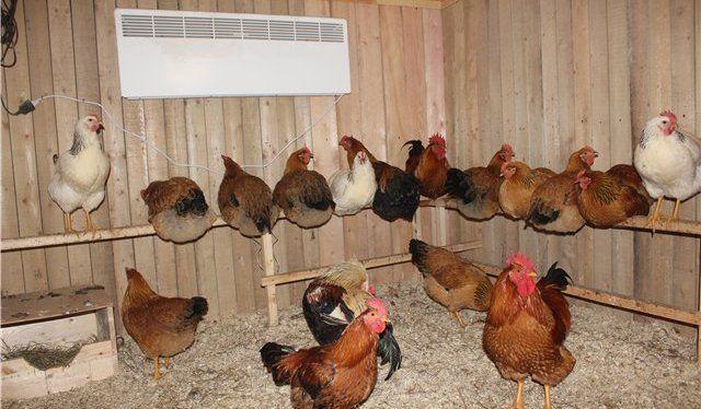 Курицы-несушки как содержать в домашних условиях 1