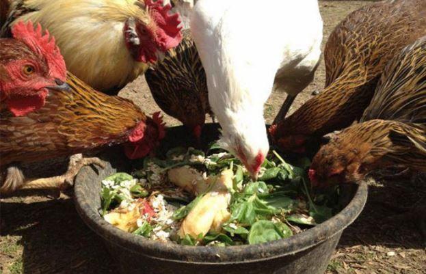 Курицы-несушки как содержать в домашних условиях 2