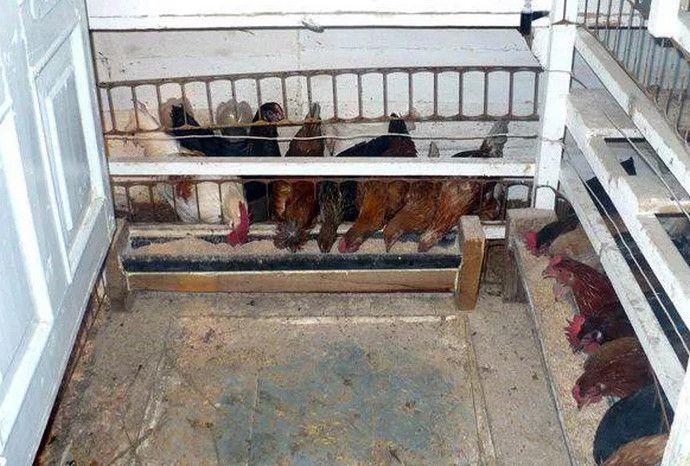 Курицы-несушки как содержать в домашних условиях 4