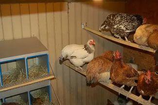 Курицы-несушки как содержать в домашних условиях 5