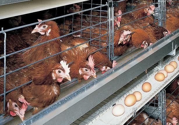 Курицы-несушки как содержать в домашних условиях 7