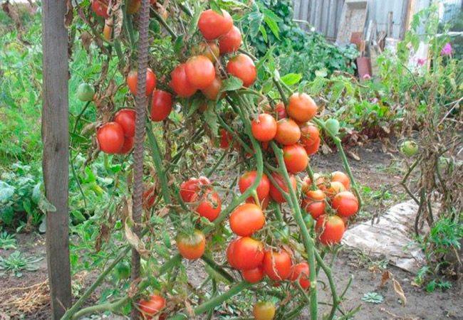 Де-Барао томат 3