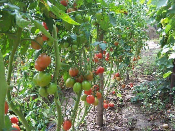 Де-Барао томат