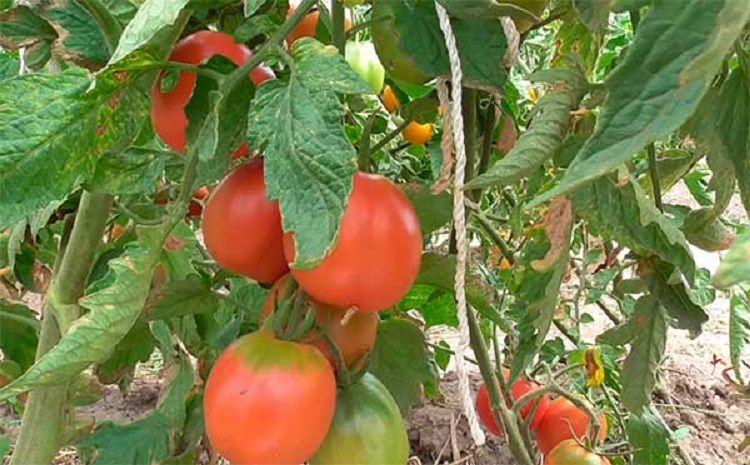 Де-Барао томат 13