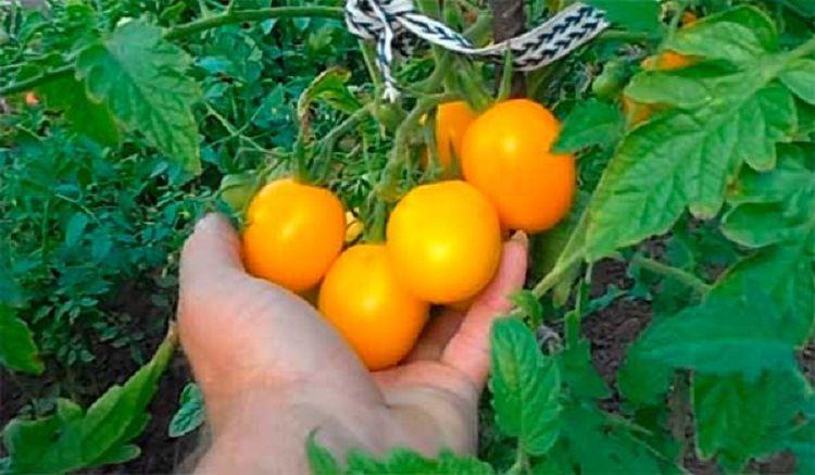 Де-Барао томат 7