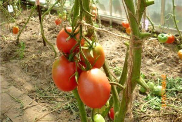 Де-Барао томат 2