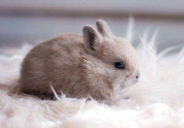 Вакцина раббивак v спасет кроликов от вгбк. Вирусвакцина для оральной иммунизации диких плотоядных животных против бешенства синраб рабивак 0 333 инструкция по применению 2