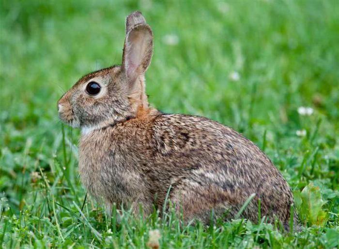 Вакцина раббивак v спасет кроликов от вгбк. Вирусвакцина для оральной иммунизации диких плотоядных животных против бешенства синраб рабивак 0 333 инструкция по применению 4