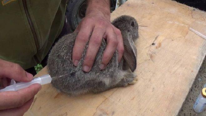 Вакцина раббивак v спасет кроликов от вгбк. Вирусвакцина для оральной иммунизации диких плотоядных животных против бешенства синраб рабивак 0 333 инструкция по применению 5