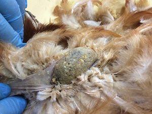Болезни кур несушек зимой и их лечение 1