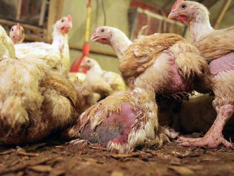 Болезни кур несушек зимой и их лечение 13