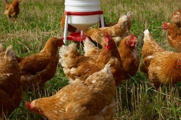 Использование растворимых в воде витаминов для цыплят бройлеров 10
