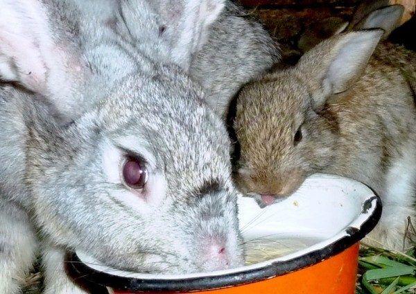 Вздутие живота у кроликов причина и лечение 2