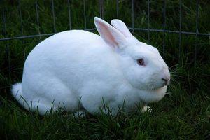 Вздутие живота у кроликов причина и лечение 4