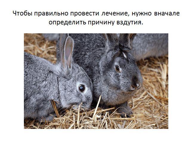 Вздутие живота у кроликов причина и лечение 9