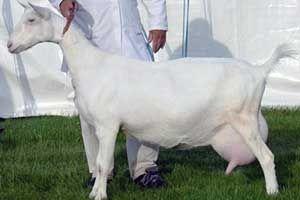 Разновидности пород молочных коз 16