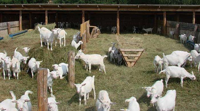 Разновидности пород молочных коз 1