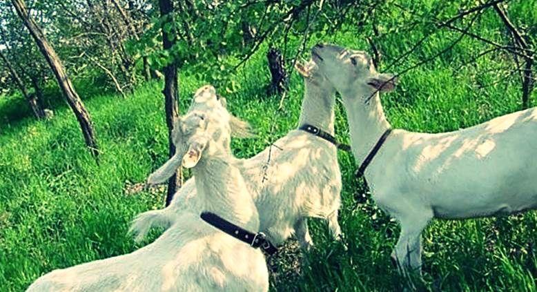 Разновидности пород молочных коз 4