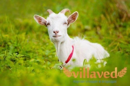 Разновидности пород молочных коз 6