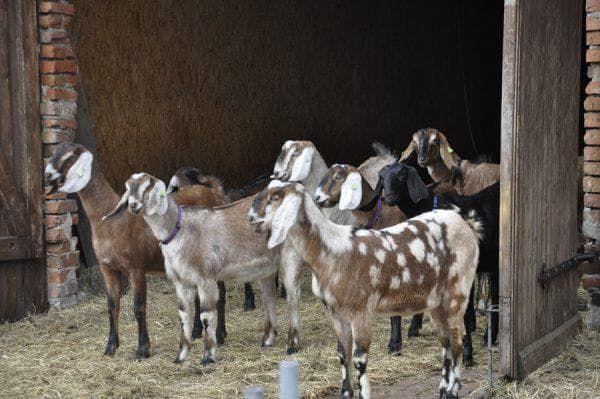 Разновидности пород молочных коз 8