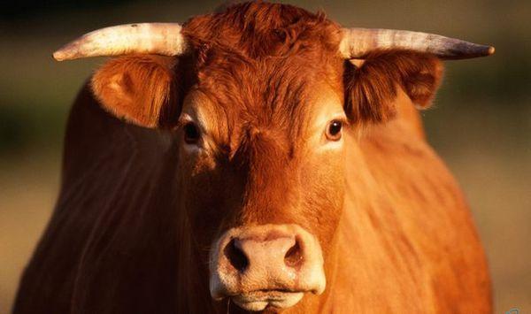 Эффективные методы забоя коров, телят и быков